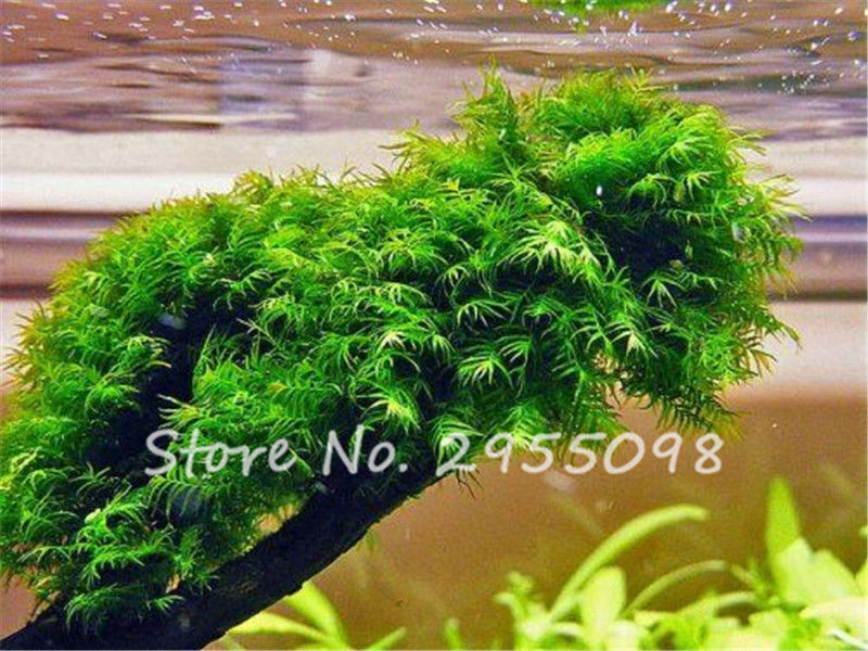 Pearl Moss Seeds Ornamental Plants Water Grass Seeds Live Aquarium Plants Pot