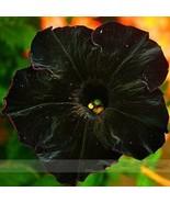 Rare Super Black Cat Petunia Flower Seeds 100 Seeds / Pack Annual Bonsai  - $2.85