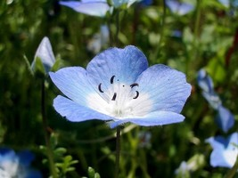SHIPPED FROM US 500 Baby Blue Eyes Nemophilia Insignis Flower Seeds, LC03 - $15.00