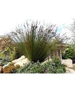 Giant Cape Rush Ornamental Grass - Chondropetalum elephantinum - Ornamen... - $39.00