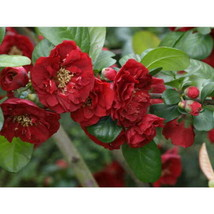 3 Plants Red Dragons Blood Double Flowering Quince Potted - $53.99