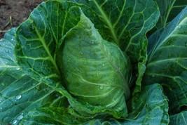 Collard Greens Vates Non GMO Heirloom Garden Vegetable Seeds Sow No GMO®... - $1.97+