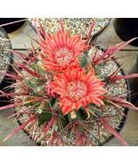 "STR Garden 100 Seeds African Mixed Cactus Succulent ""FEROCACTUS COLORATU... - $6.99"