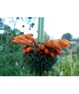 Lion's Tail - astonishing flowering accent plant with medicinal value - $4.75
