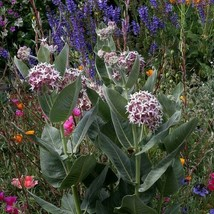 SHIP FROM US 50 Showy Milkweed Flower Seeds (Asclepias Speciosa), UTS04 - $11.98