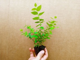 Blueberry Starter Plant ~ Biloxi... Price includes 2 plants free shipping - $19.75