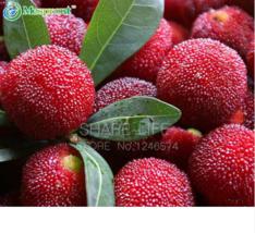 5 SEED Myrica Rubra Seeds, Chinese Red Bayberry, Myrica rubra succulent ... - $4.65