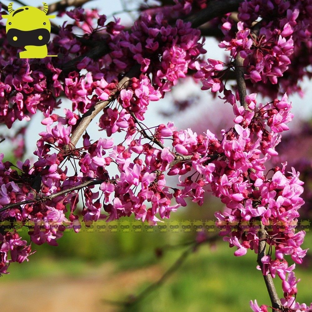 Giant Pink Redbud Flower Seeds 10 And 50 Similar Items