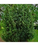 50pcs Very Gorgeous Common Juniper Trees Evergreen Plants Seeds IMA1 - $15.99