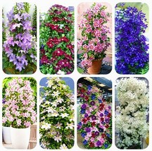 Super 100 Seeds 8 Kinds Climbing Clematis Flowers Colorful Clematis Vine Bonsai - $2.10