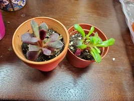 "Sun Rose Succulent Plant, Live Anacampseros rufescens in 2"" pot image 1"