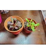 "Sun Rose Succulent Plant, Live Anacampseros rufescens in 2"" pot - $7.99"