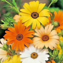 200+AFRICAN DAISY MIX Seeds White Orange Yellow Apricot Drought Tolerant Annual - $2.50