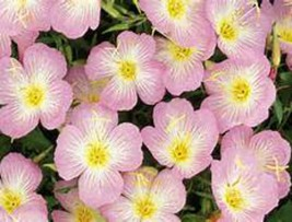Primrose Showy Pink!! 50 Seeds ! Comb.S/H! SO EASY TO GROW! - $15.48