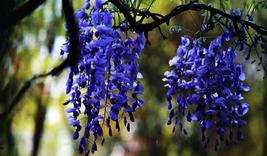 100pcs Strong Fragrant,Rare Dark Blue Wisteria Hybrid Flower Seeds IMA1 - $26.60