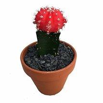 "Fair- Grafted Moon Cactus - Easy to Grow - 4"" Clay Pot - $21.56"