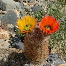 SHIP FromUS Texas Rainbow Hedgehog Cactus(Echinocereus dasyacanthus)20+SeedsUTS2 - $20.99