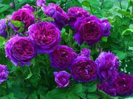 50pcs Very Graceful New Dark Purple Climbing Rose Flower Organic Seeds IMA1 - $14.98