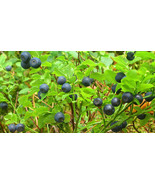 SHIP FROM US 20 BILBERRY Fruit Shrub European Blueberry Vaccinium Seeds ... - $14.00
