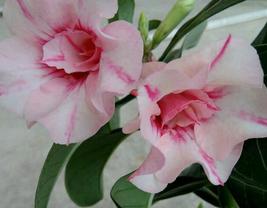 2pcs Beautiful Adenium Whitish Pink Petals Purple Strip&Centre Flower Seeds IMA1 - $14.95