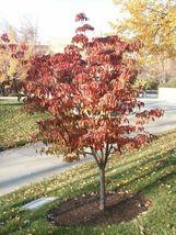 """Pink Dogwood tree 10-16"""" tall quart pot image 8"""