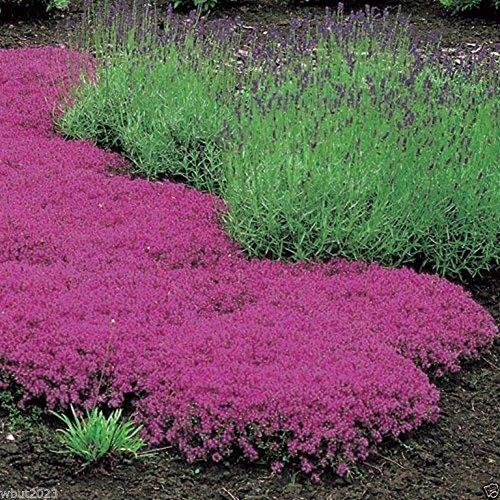 1000 Seeds Creeping Thyme Seeds - Magic Carpet - Thymus Serpyllum- Perennial Gro