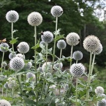 SHIP FROM US 30 Globe Thistle White Flower Seeds (Echinops Ritro), UTS04 - $11.98