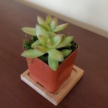 "LIVE SUCCULENT Sedum Firestorm 2"" potted plant sedum adolphi golden image 4"
