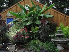Baby Musa Basjoo Cold Hardy Banana Plant Winter Hardy Starter Plant - $25.73