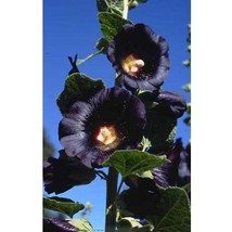 50 Watchman Black Hollyhock Seeds - $9.99