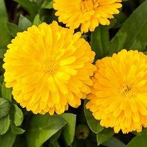 50 Calendula Golden Emperor Flower Seeds - $11.88