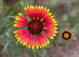 1/4 Pound Seeds of Indian Blanket - $43.46