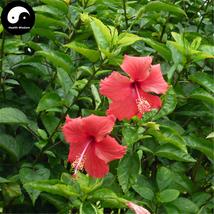 Buy China Rose Hibiscus Tree Seeds 120pcs Plant Chinese Rose Mallow Zhu Jin - $9.99