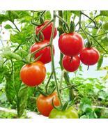 20 Seeds of Mexian Midget Tomato - Solanum lycopersicum - $11.74
