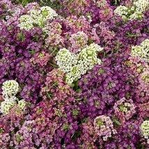 50 Seeds Alyssum Aphrodite Series Mix Annual - $19.60