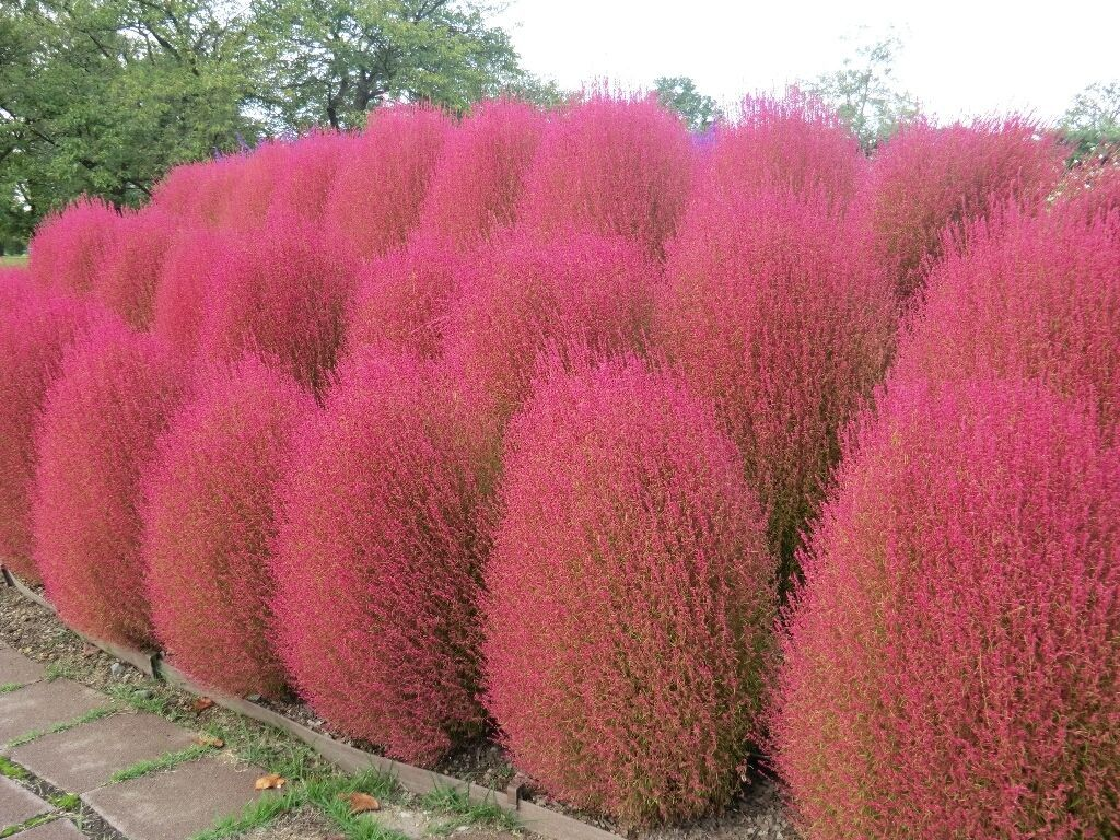 Primary image for KOCHIA SCOPARIA burning bush 2500 seeds Exotic Ornamental easy grow CombSH