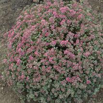 "2"" pot sedum STEEL THE SHOW new airy sun drought tolerant 1 Cut Potted Plant - $17.99"