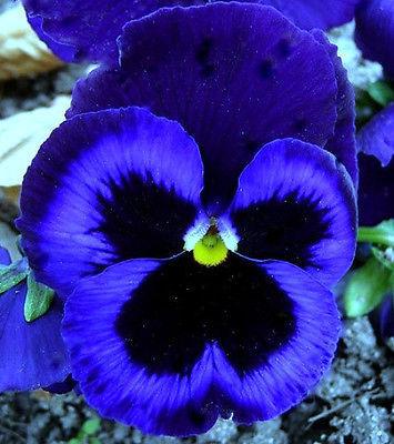 50 Pcs Pansy Seeds, Ullswater, Swiss Giant Pansies, Viola Seeds, Heirloom Seeds