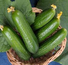 Muncher Burpless Cucumber  Heirloom Packet contains 50 seeds - $6.22