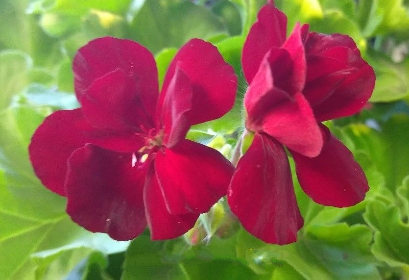 Geranium - Calliope - Burgundy - L - 4 Live Starter Plants
