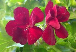 Geranium - Calliope - Burgundy - L - 4 Live Starter Plants - $41.99