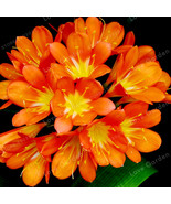 Sia bulbs indoor potted flowers orchids floral quiet home garden plant flower bulbs 70 thumbtall