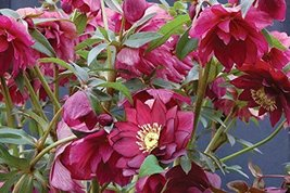 1 Starter Plant of Helleborus X Hybridus 'Red Sapphire' (Winter Jewels Series) - $67.32
