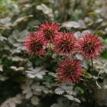 SHIP FROM US 200 New Zealand Burrs Ground Cover Seeds, UTS04 - $35.98