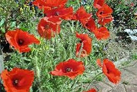 Corn Poppy 100 Seeds, Brilliant RED Flower, Beautiful RED Blooms, Countr... - $4.49