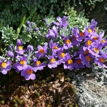 4 Variety Exotic Flower Seeds Alpine Toadflax (Linaria Alpina) #IMA47 - $14.99+