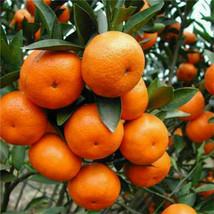20pcs / pack graines d'agrumes mandarine orange balcon Patio arbre fruit... - $6.81