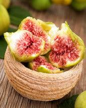 Texas Everbearing Fig Tree Ficus Carica Fruiting Fig Tree - $27.79