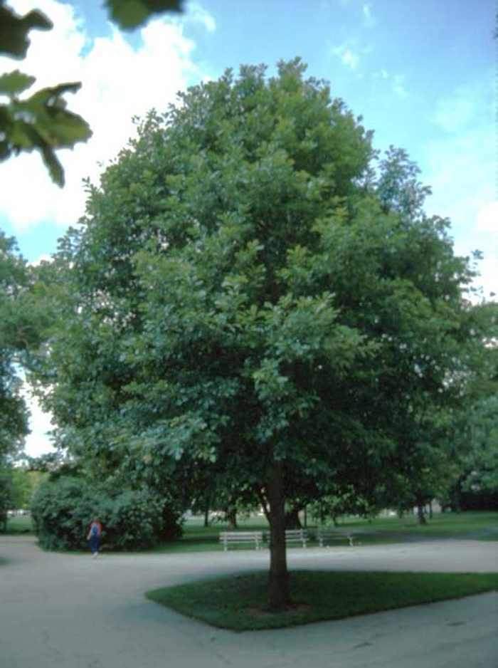 White Oak Tree-(quercus alba)
