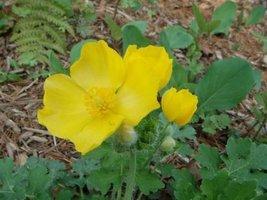 5 Bulb Roots of Celedaine Poppy Golden Wood Native Woodland Wildflowers - $38.61